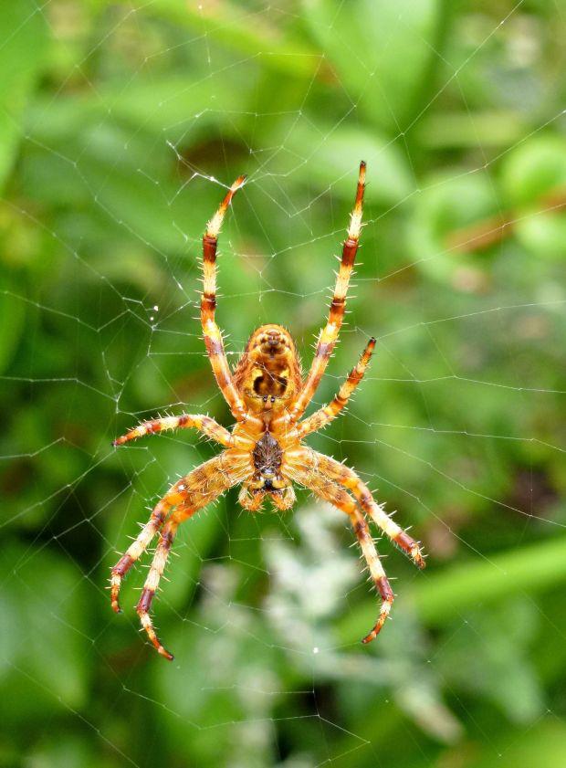 baby garden spider