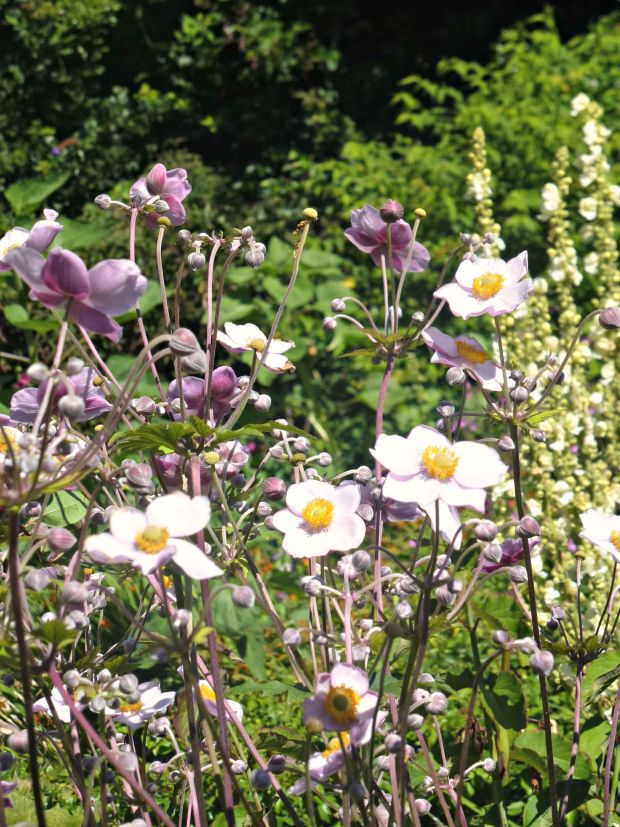 cottage garden with pink japanese anemone