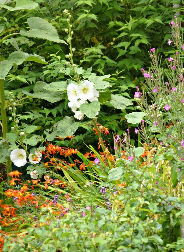 Hollyhocks, crocosmia and a pink weed