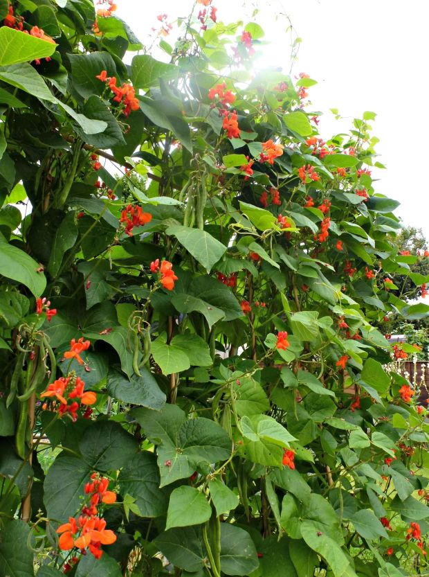 Runner beans are easy to grow