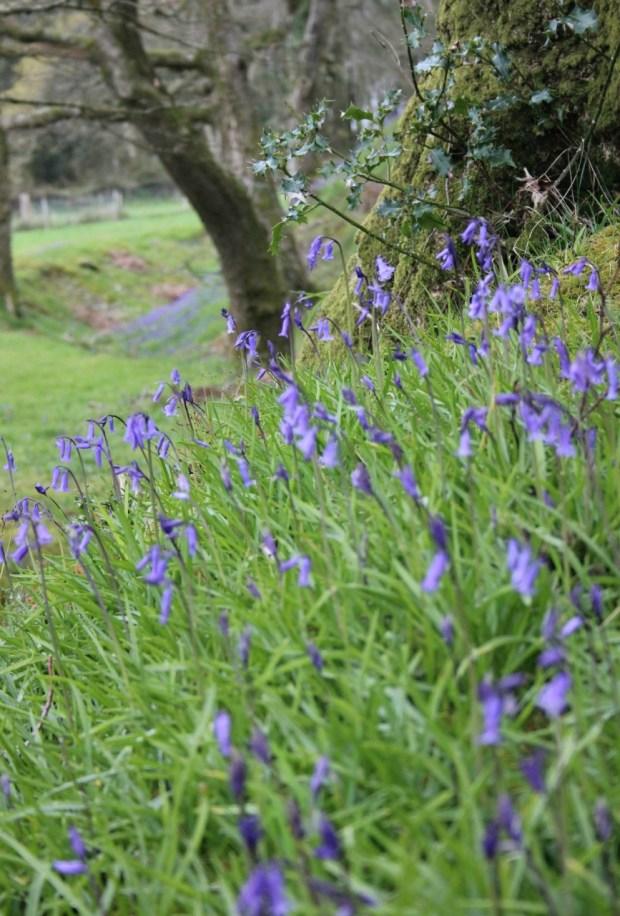 Bluebells growing