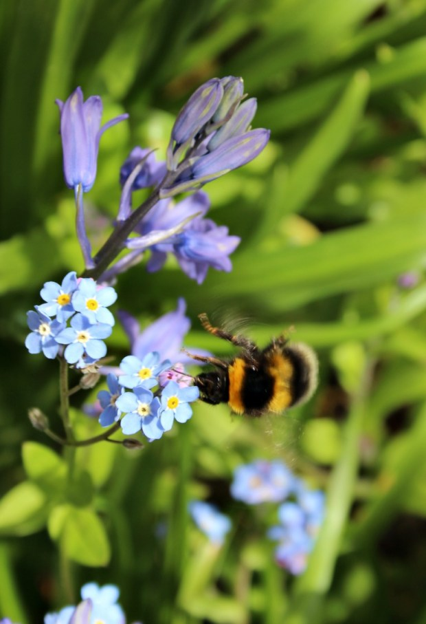 Bumble bee and forget me nots