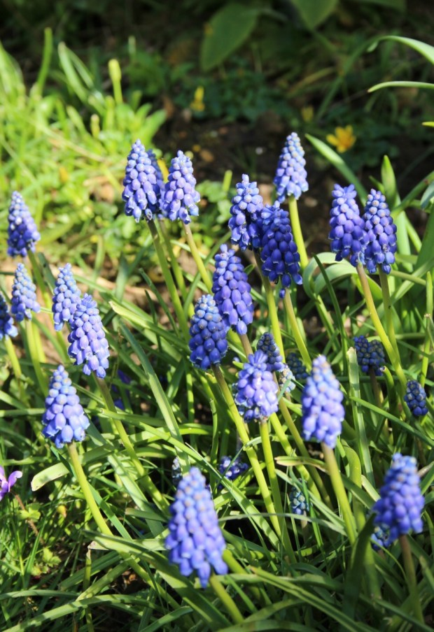 muscari in the afternoon sun