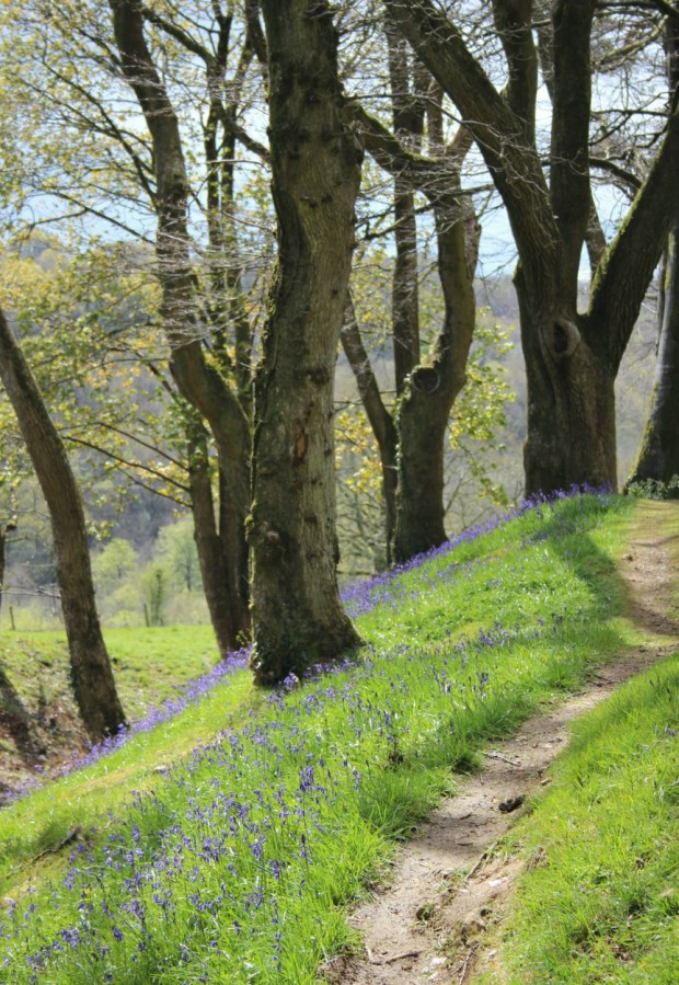 Path through the bluebells.