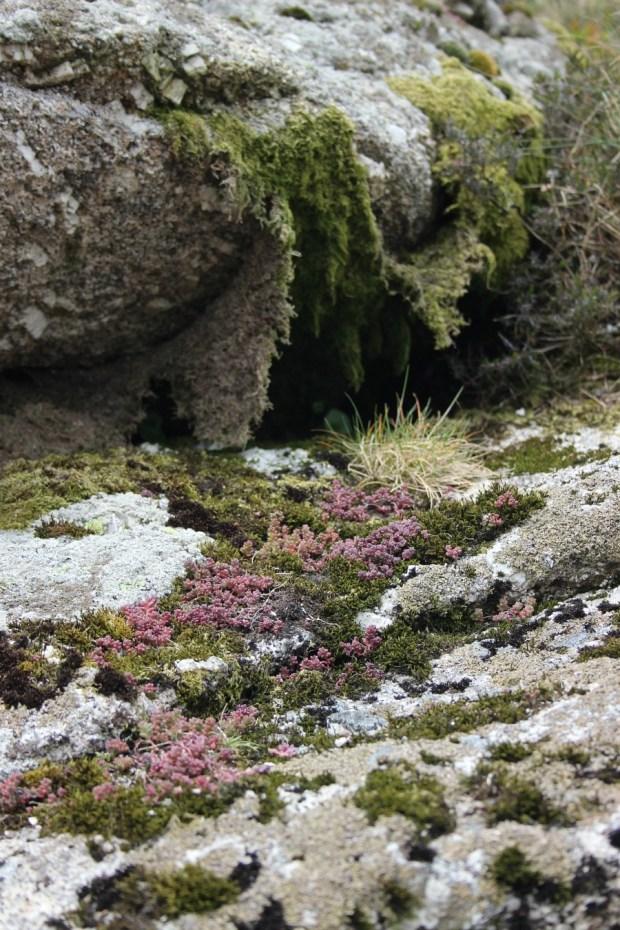 Mossy rocky blanket. Haytor, Dartmoor.