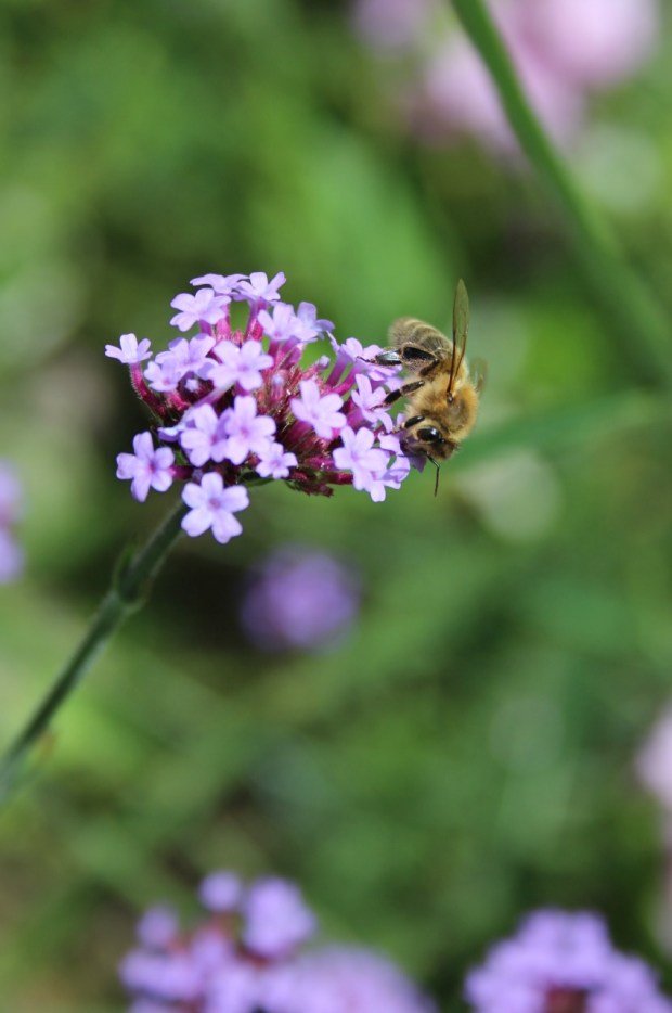 bee on the verbena bonariensis