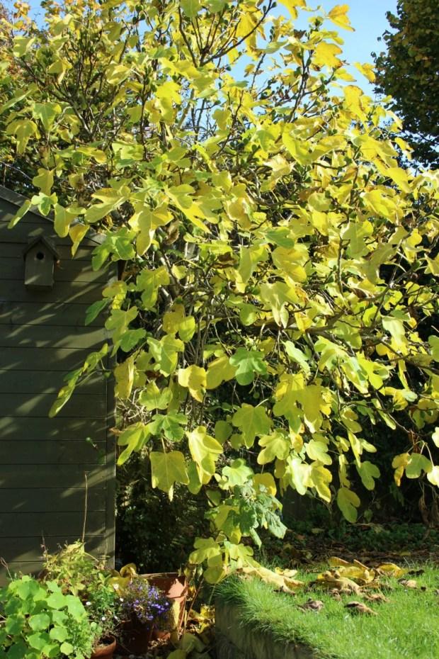 autumn-fig