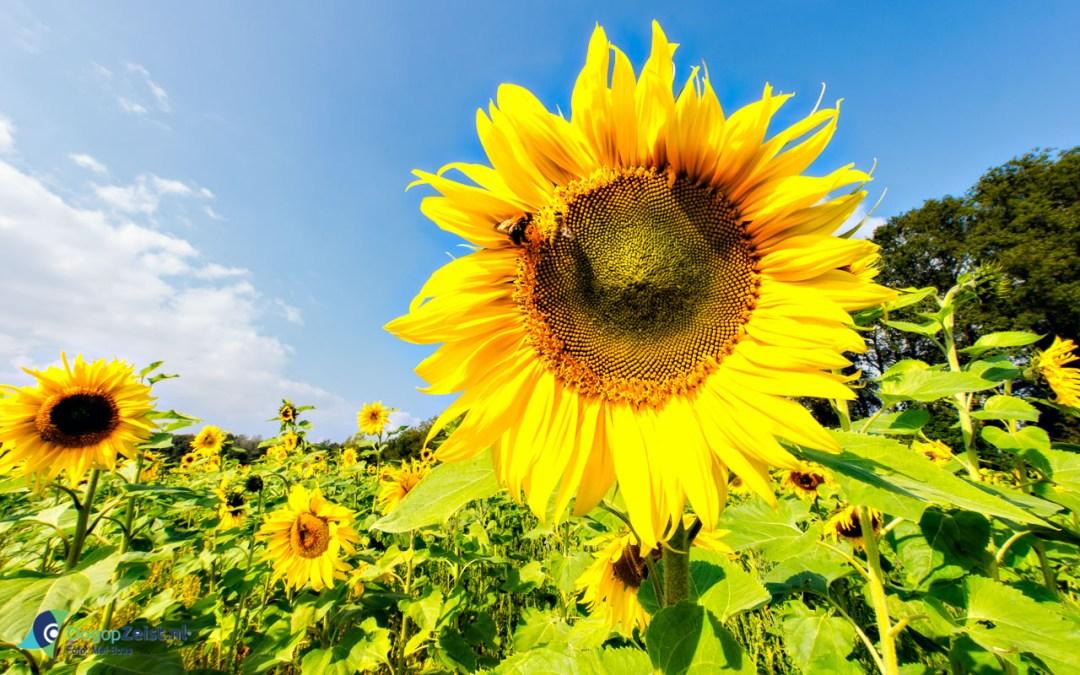 Zonnebloemen op Blikkenburg