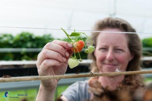 Aardbeien ieder dag vers in de zomer bij Fruitbedrijf Westeneng in Bunnik