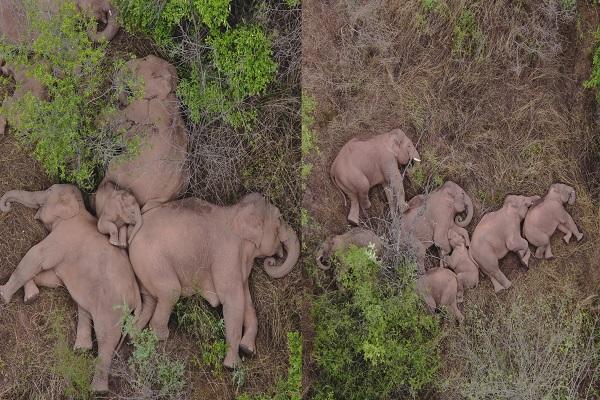 Chinesische Elefantenherde beendet 18-monatige Reise