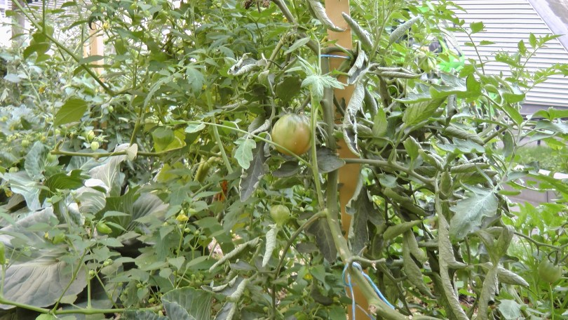 Tomatoes at the Université du Québec à Montréal