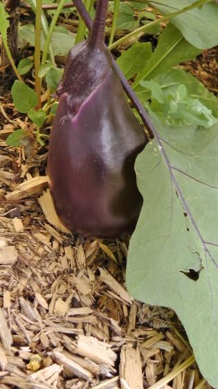 Eggplant at the Université du Québec à Montréal