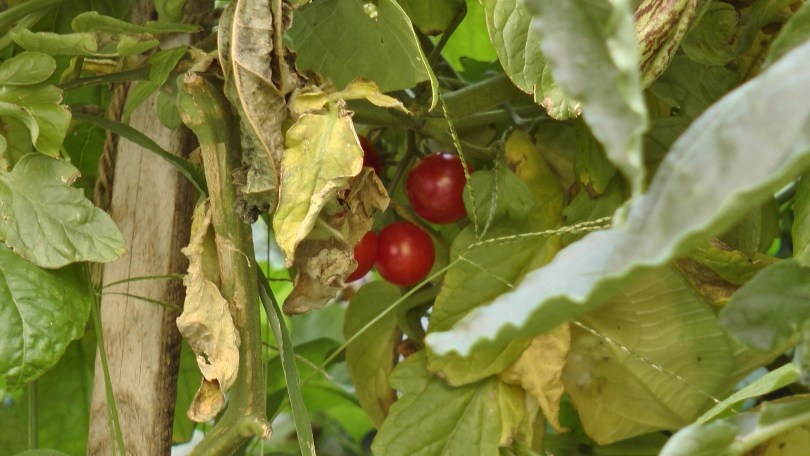 Cherry tomatoes at the Université du Québec à Montréal