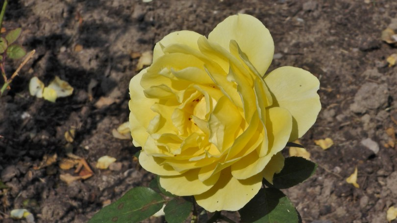 Yellow Rose in The Rose Garden at Hélène de Champlain