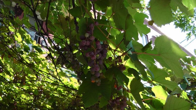 Grapes on de L'Esplanade