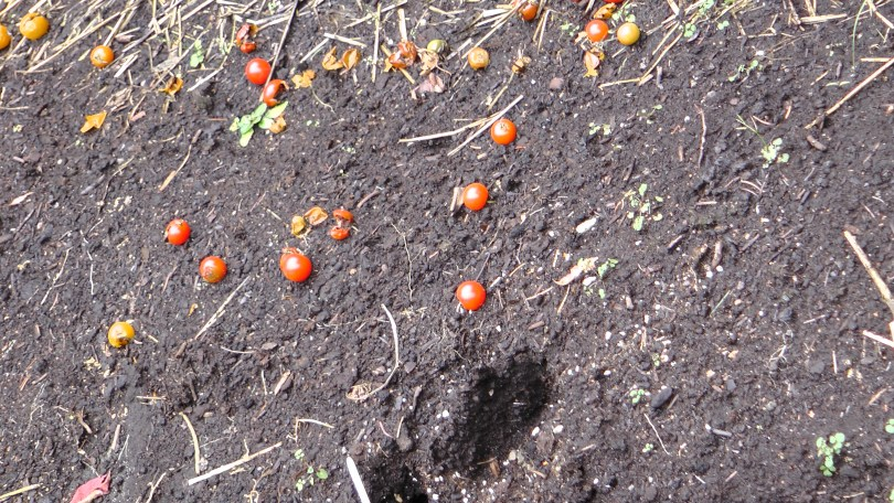 Some tomatoes left over for the birds...