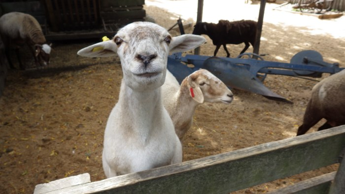 カメラ目線羊
