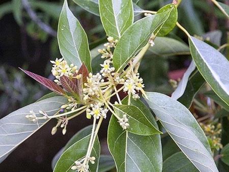 цветение авокадо