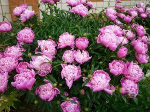 Багаторічні квіти - півонія