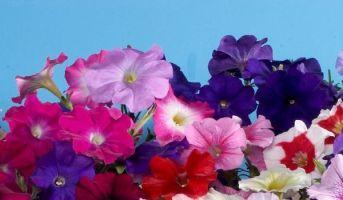 Осінні квіти. Петунія.