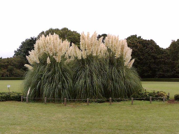 декоративні трави кортадерія