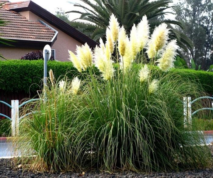 декоративні трави міскантус