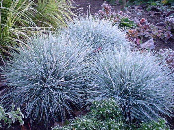 декоративні трави костриця блакитна
