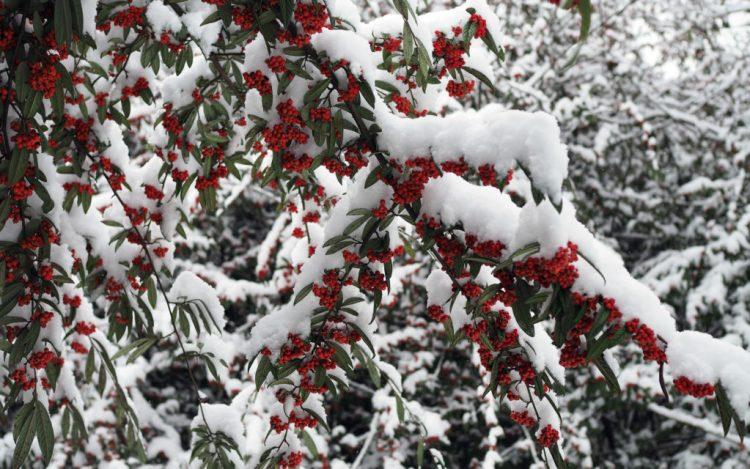 Ягоди в зимовому саду, як ковток льодяної води в спеку.