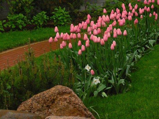 тюльпани в саду зображення