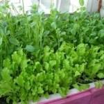 Город на підвіконні – вирощуємо зелень вдома