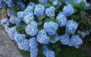 гортензія садова зображення