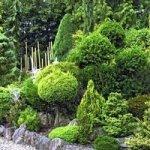 """Хвойні рослини для """"лінивого"""" саду"""