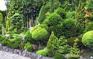 хвойні рослини зображення
