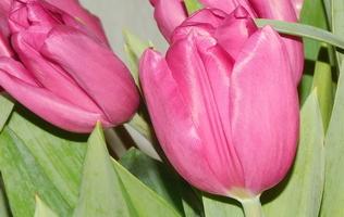 як садити тюльпани