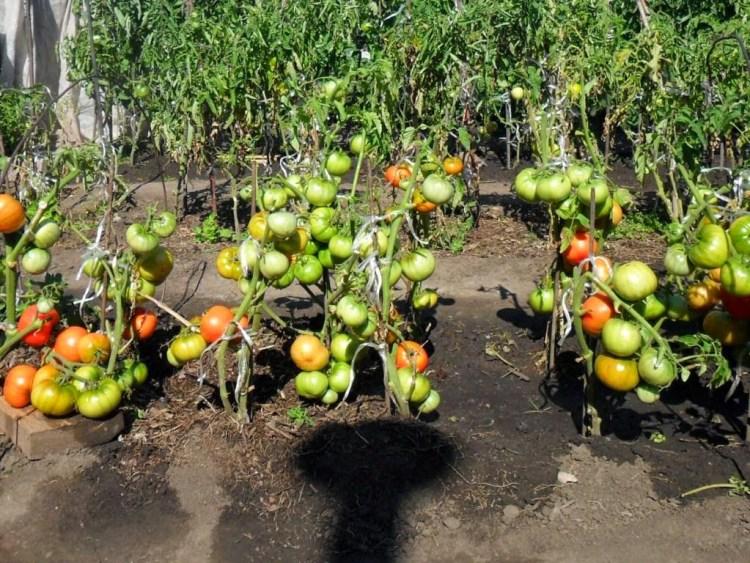 Чим підживити томати в серпні?