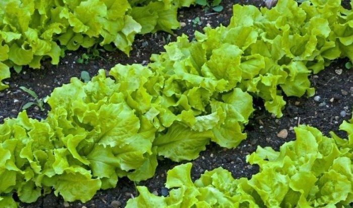 листовий салат картинка