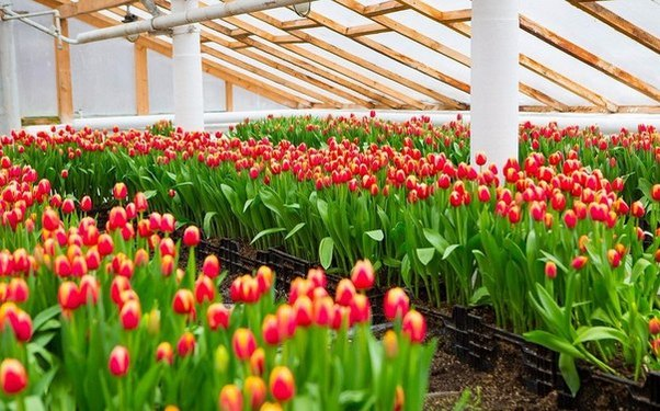 тюльпани в теплиці