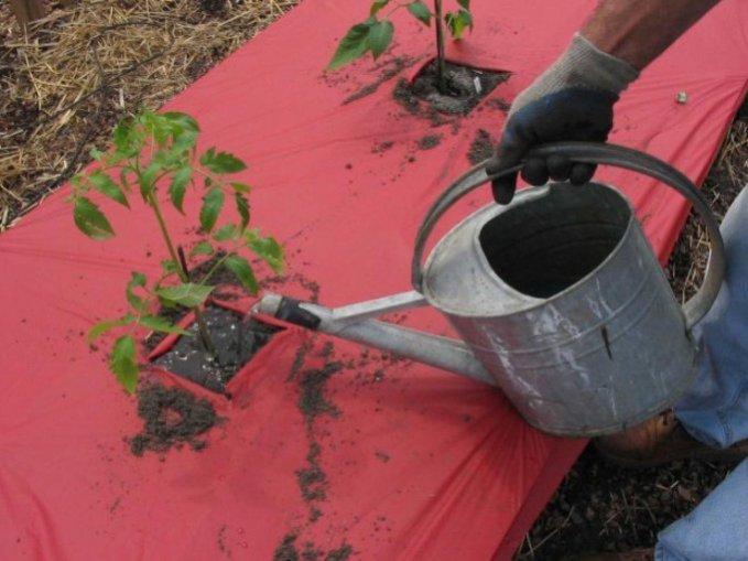 як поливати помідори зображення