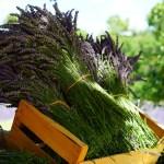 Лаванда в саду – догляд і розмноження