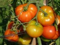 Особливості вирощування помідорів в серпні