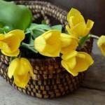 Як вирощувати тюльпани – на клумбі, вдома, в теплиці