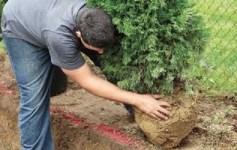 пересадка хвойних рослин