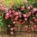 Коли краще садити троянди