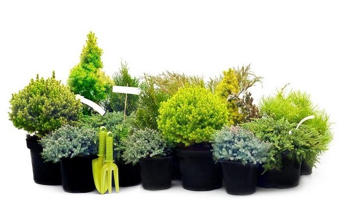 хвойні рослини в контейнері