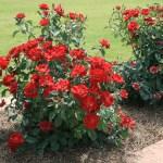 Як зробити квітник? Про розарії і рокарії