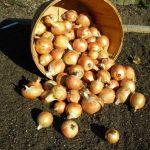 Як і коли садити цибулю на зиму?