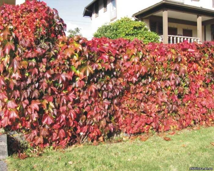 виноград вічі на паркані