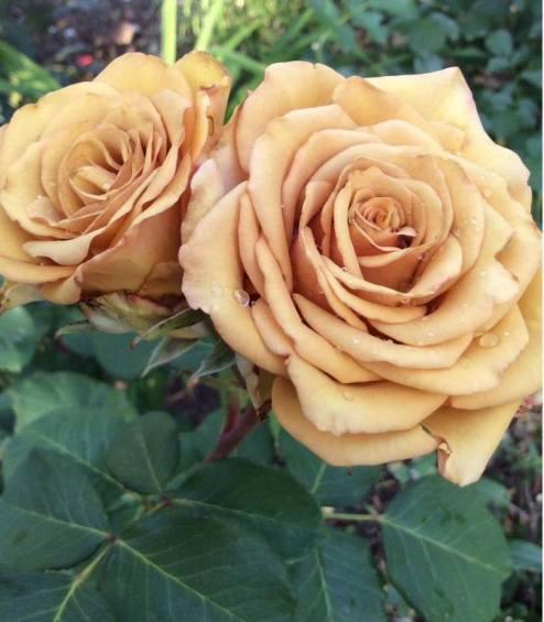 жовта троянда