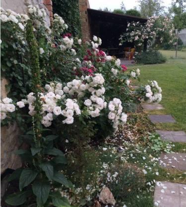 троянди в саду