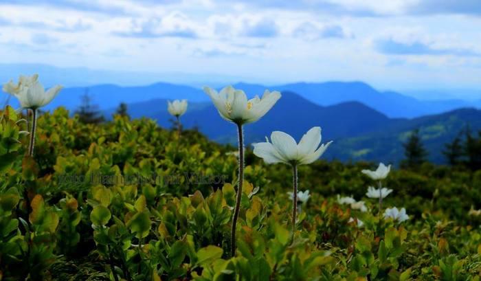 Квіти Марморощини фото